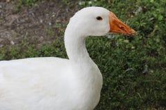 Oie blanche, plan rapproché dans le ménage images libres de droits