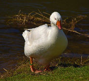 Oie blanche près de rivière Photo stock