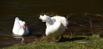 Oie blanche près de rivière Photo libre de droits