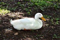 Oie blanche se reposant au sol Image libre de droits