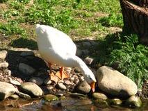 Oie blanche sur la banque de la rivière photo stock