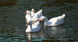 Oie blanche sur la rivière Photographie stock libre de droits
