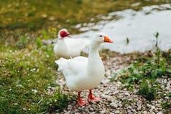 Oie blanche sur le rivage du lac Photographie stock libre de droits