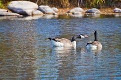 Oie canadienne cornant au compagnon Photographie stock libre de droits