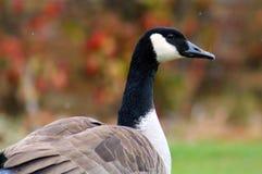 Oie canadienne dans Bloomfield occidental Michigan Image libre de droits