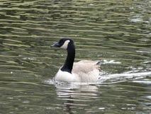 Oie canadienne dans l'étang Image stock