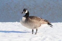 Oie canadienne dans la neige photographie stock libre de droits