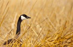 Oie canadienne dans les zones humides Photographie stock