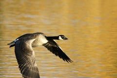 Oie canadienne en vol Photos libres de droits