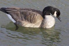 Oie caquetante regardant dans l'eau Images stock