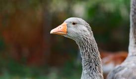 Oie cendrée domestique - grand oiseau à une ferme de passe-temps dans Ontario, Canada Image stock