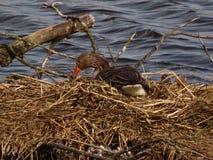 Oie cendrée et son nid photos libres de droits