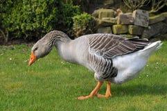 Oie cendrée marchant sur l'herbe Photos libres de droits