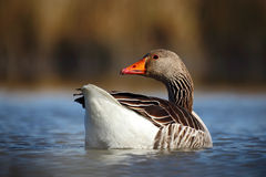 Oie cendrée d'oiseau, anser d'Anser, flottant sur la surface de l'eau Images libres de droits