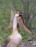 Oie chinoise domestique Les grands oiseaux sur un passe-temps cultivent dans Ontario, Canada Photos stock