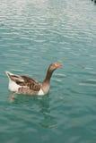 Oie dans l'étang de turquoise Photographie stock