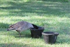 Oie dans la cuvette de l'eau Images libres de droits