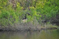 Oie dans le Busch 2 Photo libre de droits