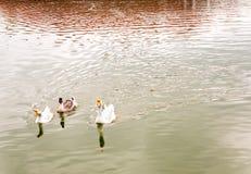 Oie dans le lac Photographie stock