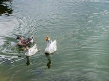 Oie dans le lac Photos libres de droits