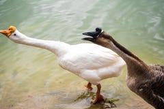 Oie dans le lac Images libres de droits