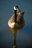 Oie dans un étang Image libre de droits