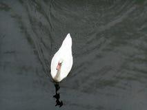 Oie dans un lac Photos libres de droits