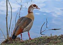 Oie dans Zwickau Photo libre de droits