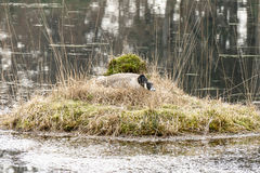 Oie de bernache sur un nid Images stock