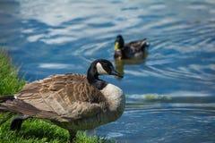 Oie de Canada Photographie stock libre de droits