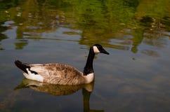 Oie de Canada Photo libre de droits