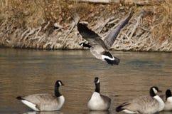 Oie de Canada décollant d'une rivière Photo libre de droits