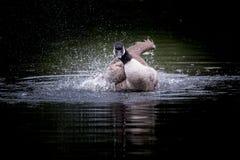 Oie de Canada d'atterrissage photographie stock libre de droits