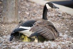 Oie de Canada de mère avec Gosling jaune Photographie stock libre de droits