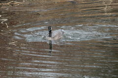Oie de Canada de natation Image stock
