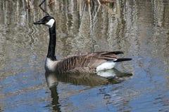Oie de Canada de natation Images libres de droits