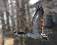 Oie de Canada en vol Photographie stock libre de droits