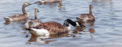 Oie de Canada - femelle avec sa natation d'embrayage sur la rivière d'Ottawa Image stock