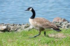 Oie de Canada marchant le long du bord des eaux Images libres de droits