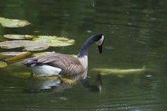 Oie de Canada observant Coy Fish nager Photographie stock libre de droits