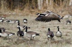Oie de Canada prenant au vol d'Autumn Field Image libre de droits