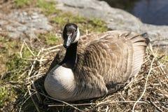 Oie de Canada se reposant sur le nid de branche hachant ses oeufs photo stock