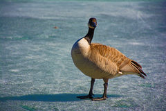 Oie de Canada sur l'étang congelé Images libres de droits