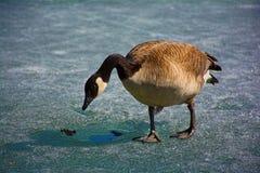 Oie de Canada sur l'étang congelé Photographie stock libre de droits