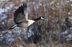 Oie de Canada volant au-dessus d'une rivière d'hiver Images libres de droits