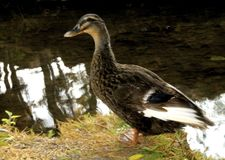 Oie de canard Photo stock