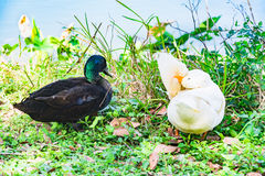 Oie de canard et d'Embden de Mullard sur le lac Photographie stock libre de droits