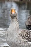 Oie de cygne avec la facture orange faisant face à l'appareil-photo Image stock
