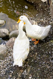 Oie de deux blancs Photos libres de droits