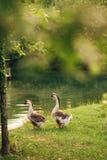 Oie de deux gris Photographie stock libre de droits